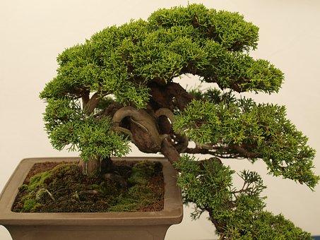 Ilustrasi Pohon Bongsai